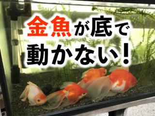 金魚が動かない?!原因と対策とは!体調不良・病気など様々な要因を解説