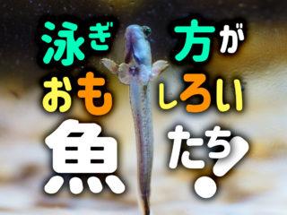 不思議な泳ぎ方をする熱帯魚ベスト10!泳ぎがかわいい魚種をご紹介!