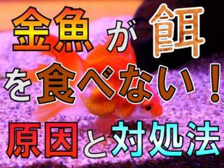 金魚が餌を食べない!原因と対処法を解説!毎日の観察が大切です!
