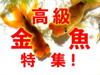 高級金魚特集!優雅で美しい高級金魚の魅力と高価な理由・おすすめ種7選