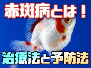 魚が充血する?!赤斑病とは!治療法と体色別の見きわめ方!予防法も!