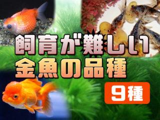 飼育が難しい金魚の品種9種!初心者にはおすすめしない金魚の特徴とは