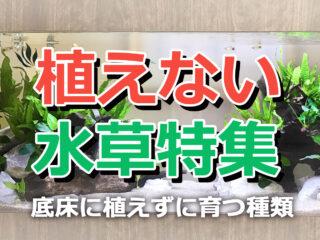 植えない水草特集!アヌビアスなど底床に植えずに育つ種類を解説!