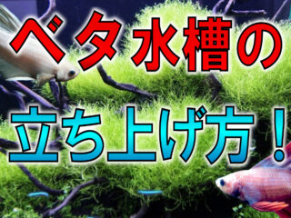 【ベタ水槽の立ち上げ方】初心者向けの飼育方法から繁殖方法まで!