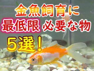 金魚飼育に最低限必要な物5選!プロおすすめの理由と飼育成功ポイント