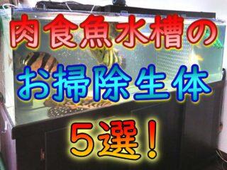 肉食魚水槽のお掃除生体5選!選定条件とおすすめのコケ掃除法!