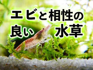 【エビ用水草】エビと相性の良い水草5選!エビ飼育にはこの水草で決まり!