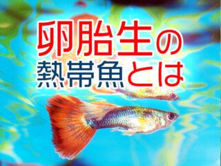 卵胎生の熱帯魚とは!水槽初心者でも繁殖させやすいグッピーなど5選!