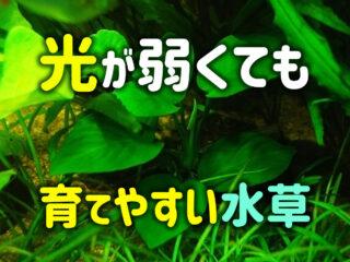 光が弱くても育てやすい水草10選!手頃な照明で育成できる種類をご紹介
